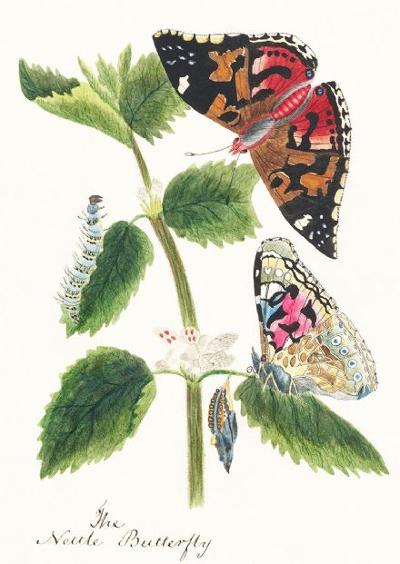 Antique Watercolor Illustration of Nettle Butterfly in Various Life Stages. Art Print/Poster (4965)